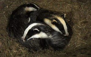 badger-setts_2800131b